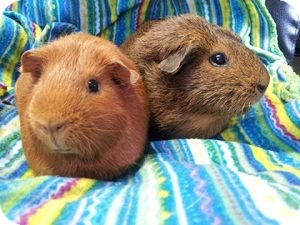 Guinea Pig for adoption in Fullerton, California - Daisy and Selena
