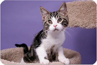 Domestic Shorthair Kitten for adoption in Sterling Heights, Michigan - Will