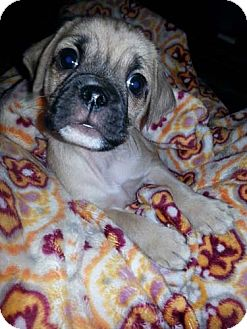 Pug/Maltese Mix Puppy for adoption in Los Angeles, California - GIBSON
