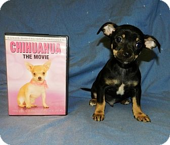 "Chihuahua Puppy for adoption in Oswego, Illinois - Heartthrobs ""Snuggles"""