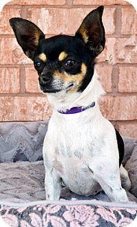 Chihuahua Dog for adoption in Bridgeton, Missouri - Tiki
