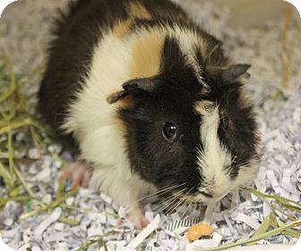 Guinea Pig for adoption in Harrisonburg, Virginia - Mocha