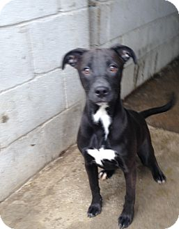 Labrador Retriever/Boxer Mix Puppy for adoption in Pompton Lakes, New Jersey - AMBER BABY GIRL