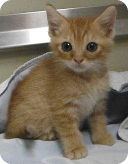 Domestic Shorthair Kitten for adoption in Cedartown, Georgia - 28269109