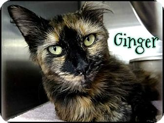 Domestic Longhair Cat for adoption in Ringgold, Georgia - Ginger
