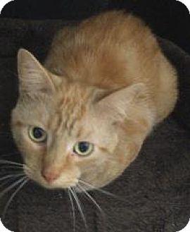 Domestic Shorthair Cat for adoption in Monroe, Michigan - Sunny