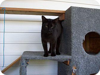 Domestic Shorthair Cat for adoption in Stockton, Missouri - Sable