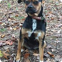 Adopt A Pet :: Poochie - Brattleboro, VT
