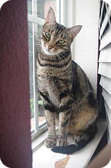 Domestic Shorthair Cat for adoption in Roanoke, Texas - Ariel