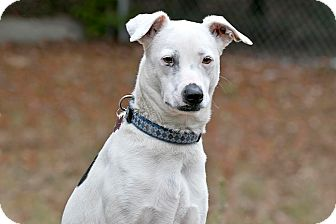 Jack Russell Terrier Mix Dog for adoption in Cashiers, North Carolina - Maylie