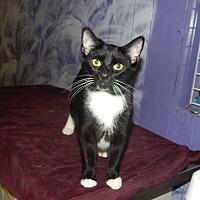 American Shorthair Cat for adoption in Holden, Missouri - Shadowhunter