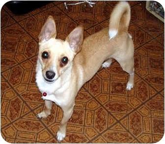 Chihuahua Dog for adoption in Leoti, Kansas - Rico