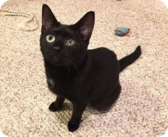 Domestic Shorthair Cat for adoption in Cheltenham, Pennsylvania - Belle