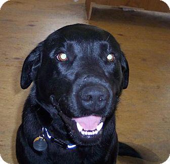 Labrador Retriever Mix Dog for adoption in Winfield, Pennsylvania - Mitchell