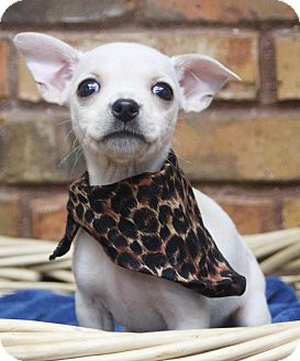 Chihuahua Mix Puppy for adoption in Benbrook, Texas - Ruby