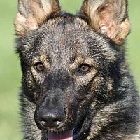 Adopt A Pet :: Ziva - Wayland, MA