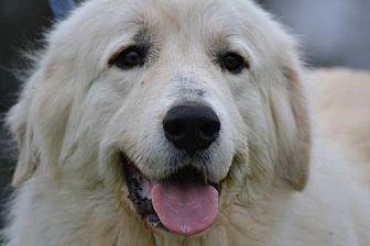 Great Pyrenees Dog for adoption in Whitewright, Texas - Townley