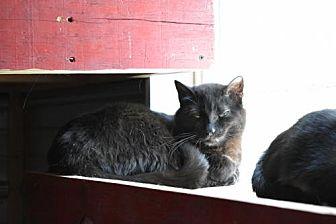 Domestic Shorthair Cat for adoption in Wichita, Kansas - Daniel
