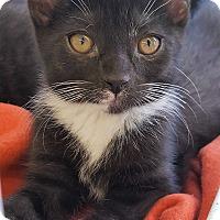 Adopt A Pet :: Monica - Nottingham, MD