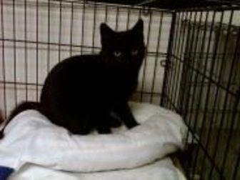 Domestic Shorthair/Domestic Shorthair Mix Cat for adoption in Erie, Pennsylvania - Ebony