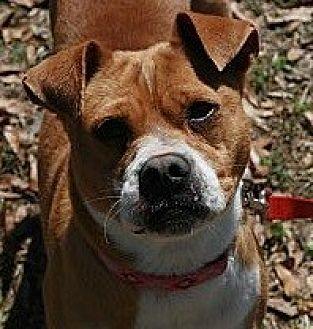Boxer/Chihuahua Mix Dog for adoption in Attalla, Alabama - MT