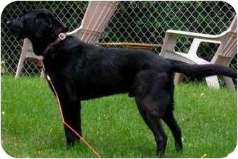 Labrador Retriever Dog for adoption in Osseo, Minnesota - Jack