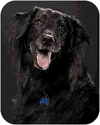Labrador Retriever Mix Dog for adoption in Arlington Heights, Illinois - Woody