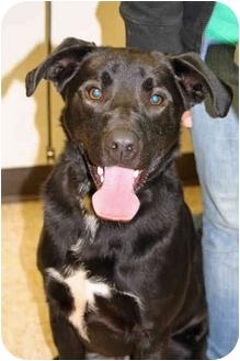 Labrador Retriever/German Shepherd Dog Mix Dog for adoption in Racine, Wisconsin - Drake