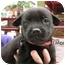 Photo 1 - Shepherd (Unknown Type)/Terrier (Unknown Type, Medium) Mix Puppy for adoption in Detroit, Michigan - Sharon