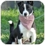 Photo 2 - Border Collie Mix Puppy for adoption in Portsmouth, Rhode Island - Charee