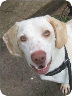 Labrador Retriever/Basset Hound Mix Dog for adoption in Montgomery City, Missouri - Cletus