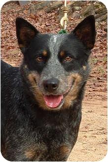 Australian Cattle Dog Dog for adoption in Siler City, North Carolina - Windy
