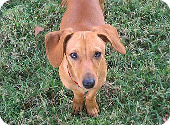 Miniature Pinscher/Dachshund Mix Dog for adoption in Nashville, Tennessee - Franky