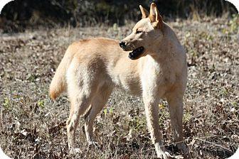Carolina Dog Mix Dog for adoption in Flower Mound, Texas - Quinn