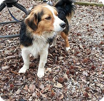Sheltie, Shetland Sheepdog/Border Collie Mix Dog for adoption in Spring Valley, New York - Rascal
