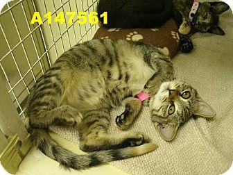 Domestic Shorthair Kitten for adoption in Casa Grande, Arizona - Rattlesnake