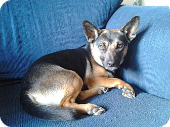 German Shepherd Dog/Corgi Mix Dog for adoption in Cincinnati, Ohio - Zazu