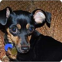Adopt A Pet :: Sassy - Nashville, TN