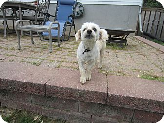 Poodle (Miniature)/Westie, West Highland White Terrier Mix Dog for adoption in Sunset Hills, Missouri - Oliver