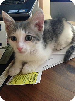 Domestic Shorthair Kitten for adoption in Phoenix, Arizona - Rocco