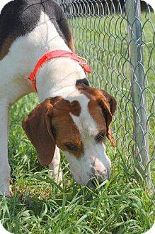 Coonhound Dog for adoption in Lewisburg, West Virginia - Chief