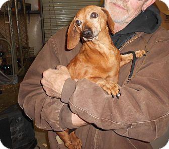Dachshund Dog for adoption in Lubbock, Texas - Ernie