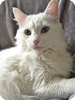Domestic Longhair Cat for adoption in South Haven, Michigan - Snowball