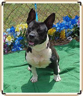 American Pit Bull Terrier Mix Dog for adoption in Marietta, Georgia - MONEY (R)