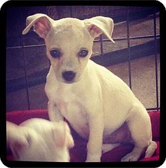 Chihuahua Mix Puppy for adoption in Grand Bay, Alabama - Mitzi