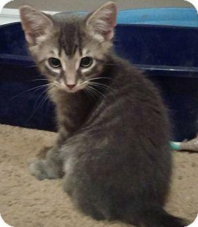 Domestic Mediumhair Kitten for adoption in Edmonton, Alberta - Marko