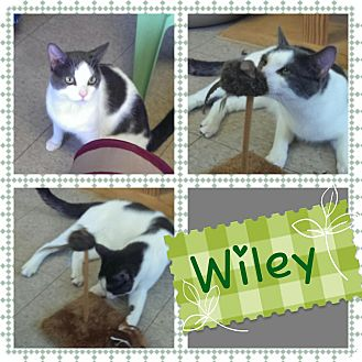 Domestic Shorthair Cat for adoption in Springfield, Vermont - Wiley