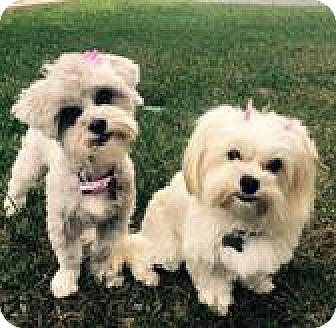 Maltese/Yorkie, Yorkshire Terrier Mix Dog for adoption in Vista, California - Addie