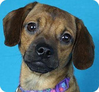 Pug/Dachshund Mix Dog for adoption in Minneapolis, Minnesota - Annie