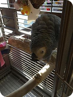African Grey for adoption in Blairstown, New Jersey - Lucy - Congo